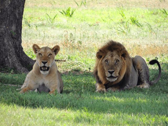 Tanzania_Africa_Lions_Ms_Traveling_Pants