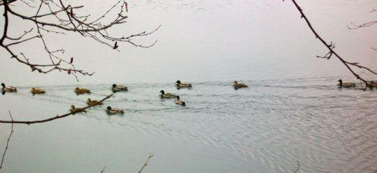 Ducks on Walden