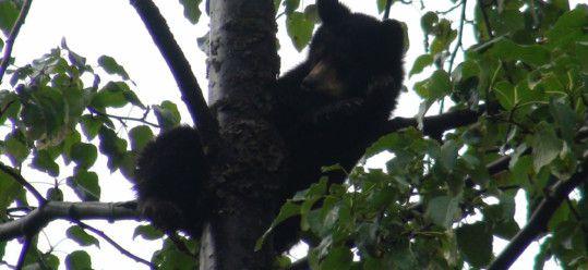 Bear Cub in Tree Alaska