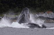 Humpbacks Bubble Feeding Near Auke Bay, Alaska