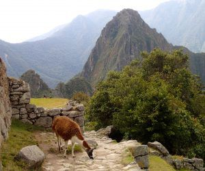 Alpaca_on_Sun_Gate_Trail_Machu_Picchu_Peru