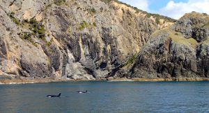 Two_Orcas_Bay_Of_Islands_New_Zealand