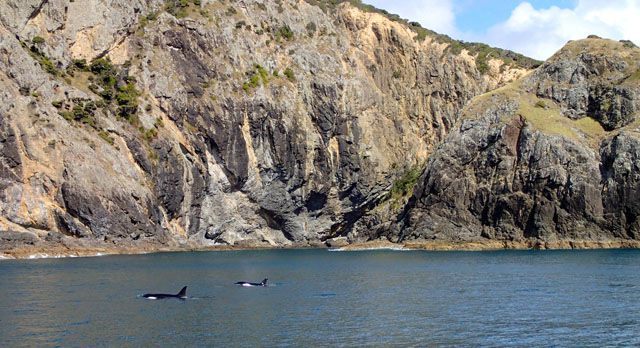 Two_Orcas_Spotted_Bay_of_Islands_New_Zealand