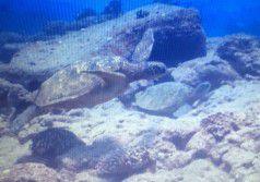 Sea_Turtles_Scuba_Diving_in_Kauai_Heidi_Siefkas