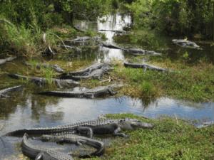 Alligators_in_Florida